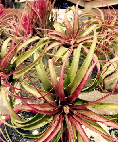 Airplants • go anywhere, add some green