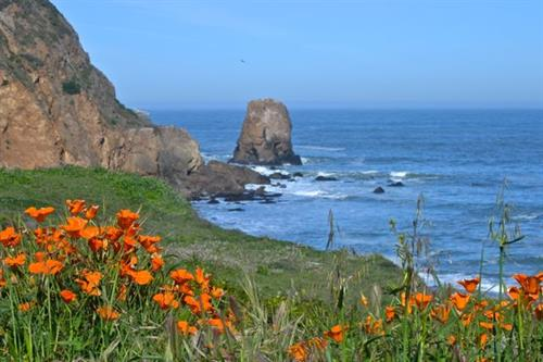 Spring brings out the California Poppy all along the coast. This are seen on the trail looking at Rockaway Beach Cove