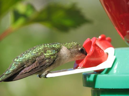 The hummingbirds are ample.