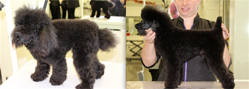 German trim on toy poodle before and after