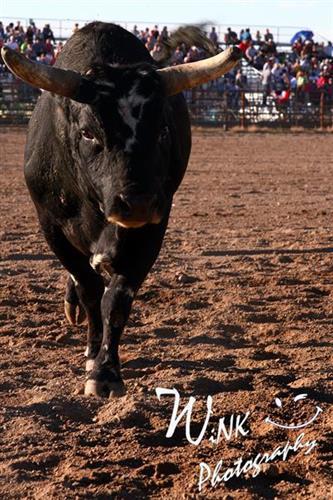 Lander Pioneer Days Rodeo Bulls