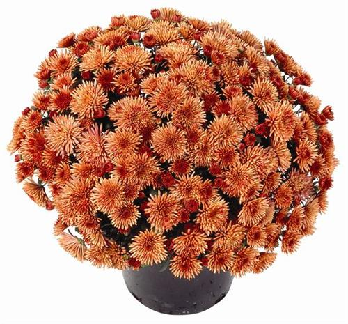 "Beautiful ""Terra Grown"" Fall Belgian mums"