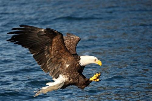 The bald eagle is the largest bird of prey found in Alaska and often spotted along on may tours and transfers. Photo Credit: Perry de Graaf