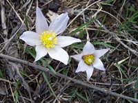 Pasque flowers grace the prairie in early spring.