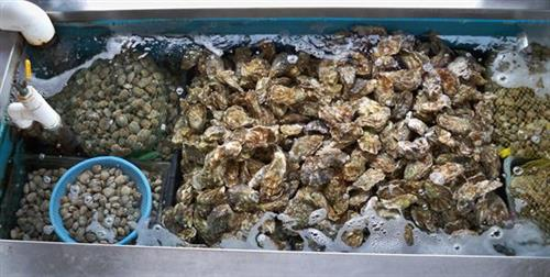 LIVE TANK full of Oysters & Steamer Clams