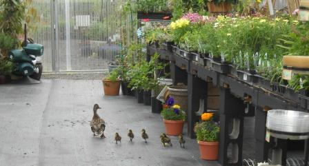Even the ducks love our nursery stock!