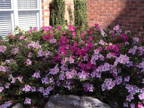 Azalea's in full bloom