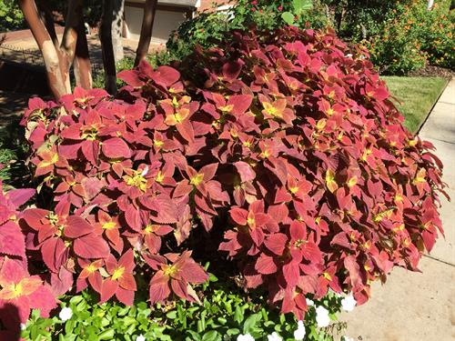 Coleus showing off to visitors walking by
