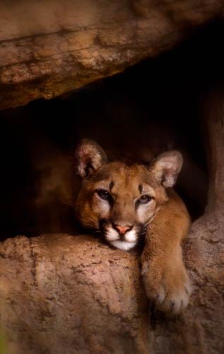 Mountain Lion: Cruz