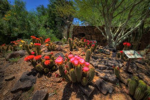 Torch Cactus Garden in Bloom: Courtesy Jay Pierstorff