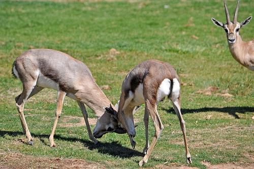 Speke's Gazelles