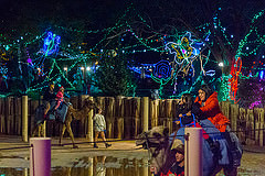 Zoo Lights Camels