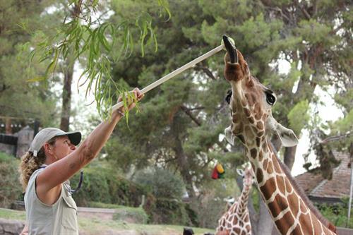 Giraffe Training at Summer Safari