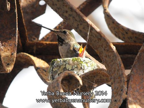 Baby Hummingbird and Momma at Yerba Buena Nursery