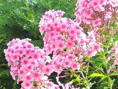Long flowering Garden Phlox