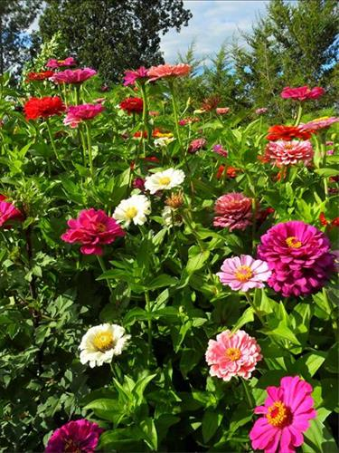Zinnias for the hummingbirds, bees and butterflies