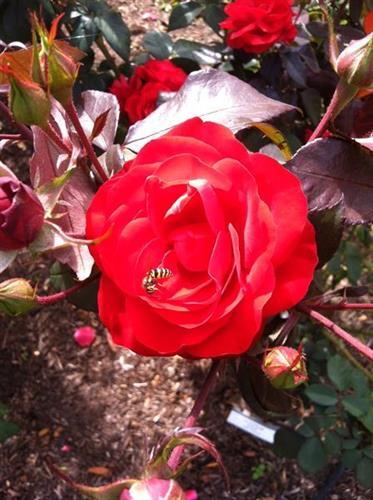 Visit Our Rose Garden!