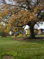 Fidlers Oak