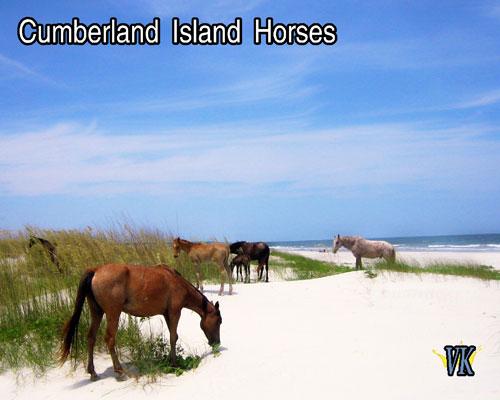 Wild horses of Cumberland Island Georgia