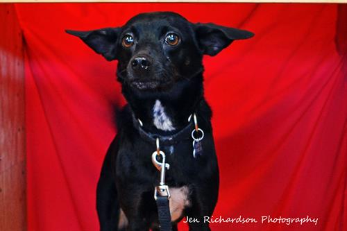 Brewster is available for adoption at www.luckypuprescue.org. He is an adult Manchester Terrier mix