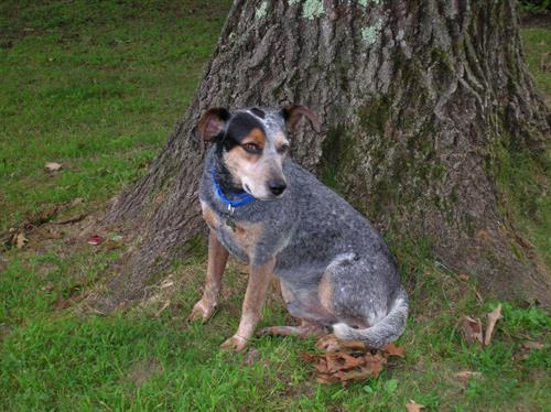Gambler is a gorgeous cattle dog, available for adoption at www.luckypuprescue.org