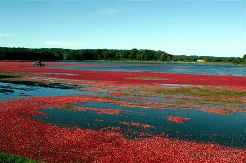 Cranberry Bog Ready for Harvesting