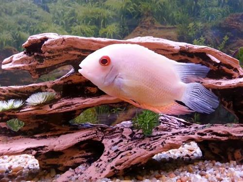 Resident fish