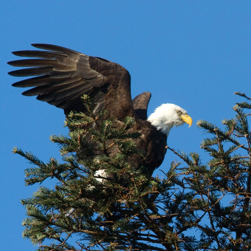 Bald Eagle off of San Juan Island