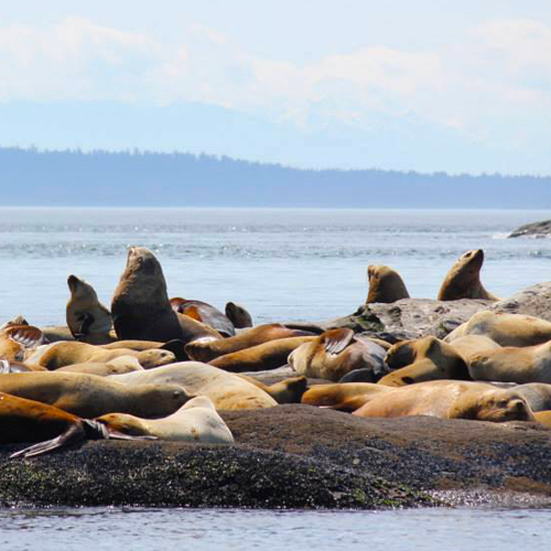 Stellar Sea Lions near San Juan Island on the Whale Watch boat tour