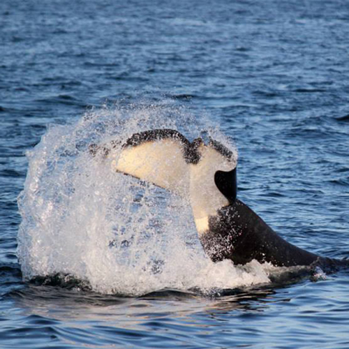 Orca whale doing what is known as a 'tail slap'