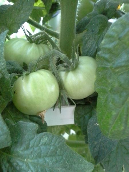 yup - you can grow tomatoes!