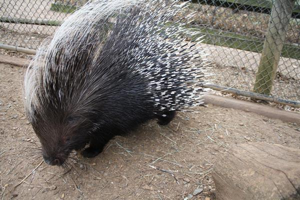 """""""Snuggles"""" African Crested Porcupine"""