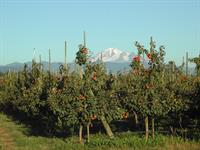 Delcious fruit with Mt. Baker in the background.