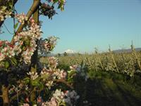 Apples Blossoms with Mt Baker.