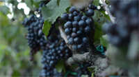 Gallery Image hab-wine-grapes2.png