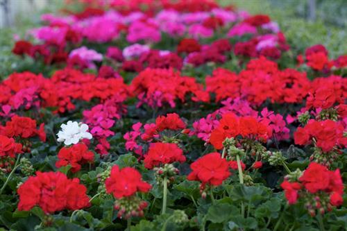 Gallery Image geraniums(2).jpg