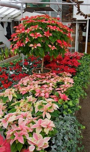 Gallery Image poinsettia(2).jpg