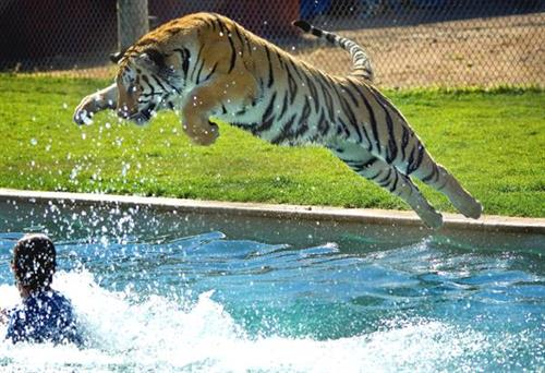 Tiger Splash Show at 1:15 pm everyday