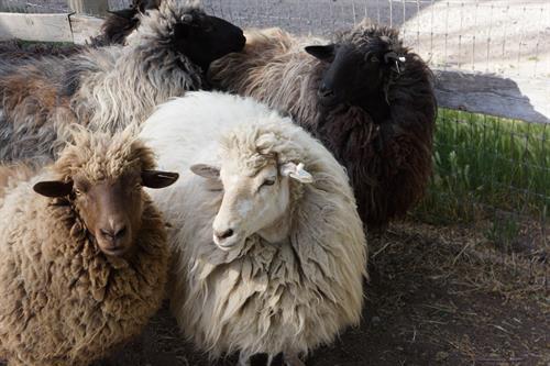 Churro sheep!