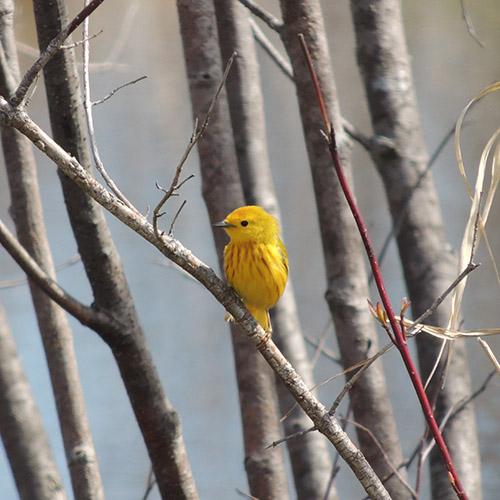 Yellow Warbler in Alder