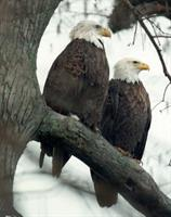 Eagle Tours Available
