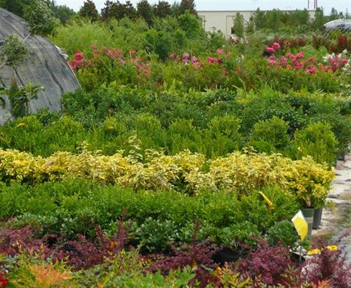 Largest selection of shrubs in the metroplex