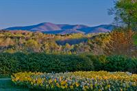20 million daffodils bloom at Gibbs Gardens March-mid-April