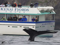Whale watching at its finest - Humpbacks, Orcas and more!