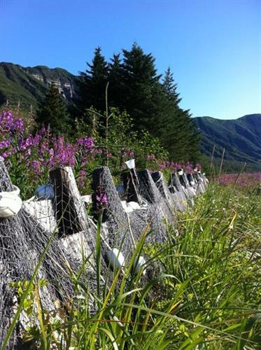 Our front fence in the fireweed in bloom.