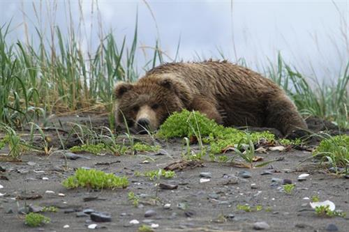Lazy bear on the beach.