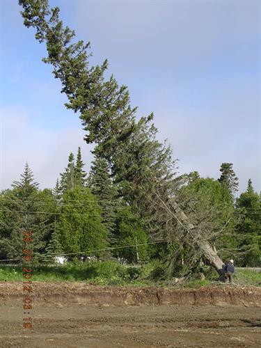 Nikiski tree