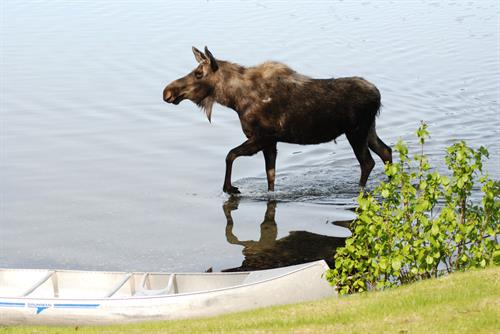 Moose by our canoe