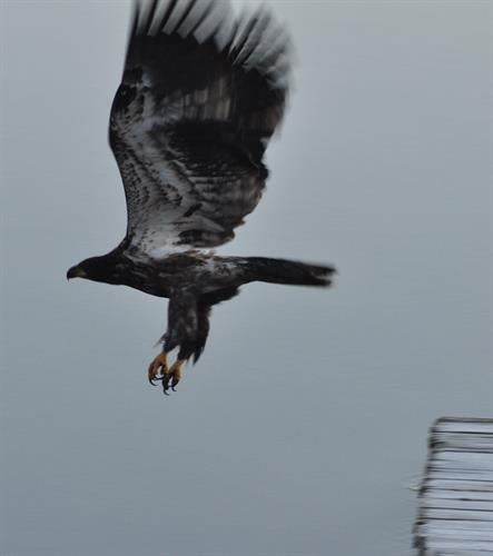 Gallery Image Eagle_flying_from_dock.jpg