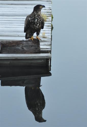 Eagle on our dock